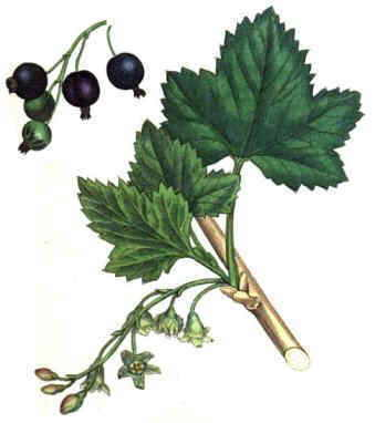 Black currant drawing