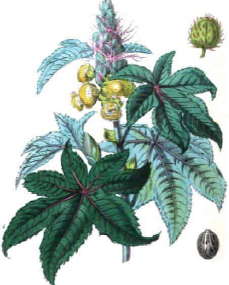 dibujo de la planta del ricino