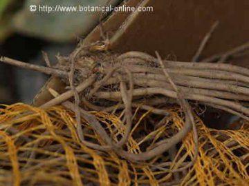 Rizoma de espárrago listo para ser plantado en cultivo