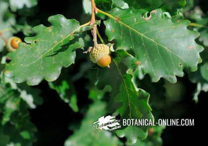 fruto de roble (bellota)