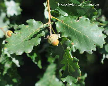 roble pubescente (Quercus pubescens)