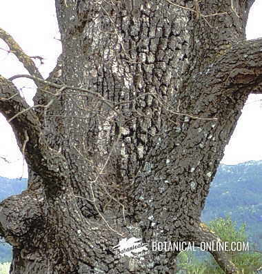 Detalle de un tronco de roble