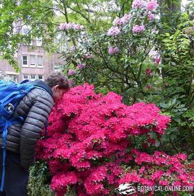 azalea rododendro lutea