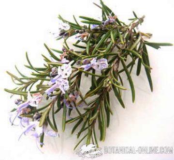 Romero planta medicinal