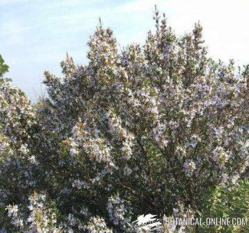 romero florecido en primavera