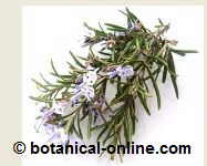 Leaves and flowers of rosemary <a href=