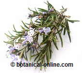 Rosemary for bad odor in armpits and genitals