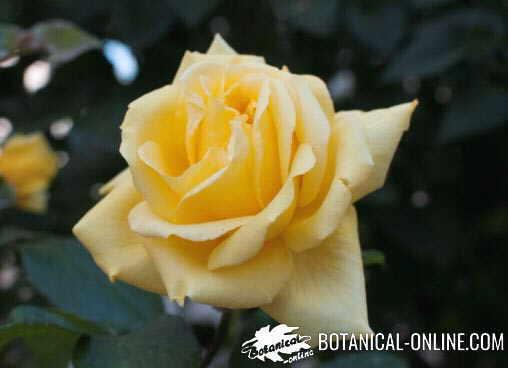 rosa amarilla hojas forma disposición