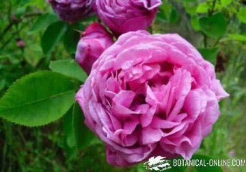 rosa centifolia antigua