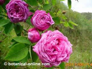 receta burnia de higos con azucar y petalos de rosa