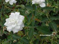 Leticia blanca ( Italia ) Aicardi