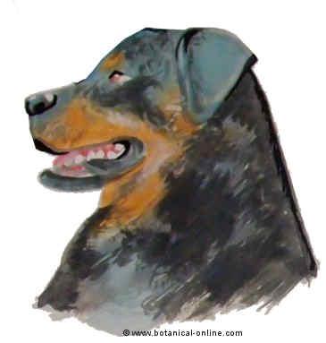 Dibujo de rottweiler