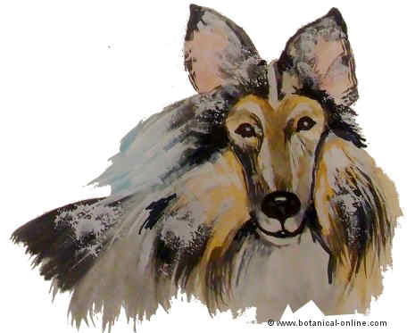 Dibujo de rough collie