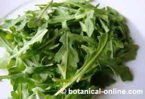 hojas de rucula para ensalada