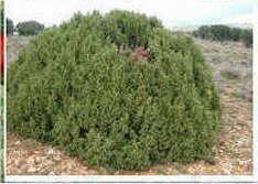 Fotos de arbustos - Nombres de arbustos ...