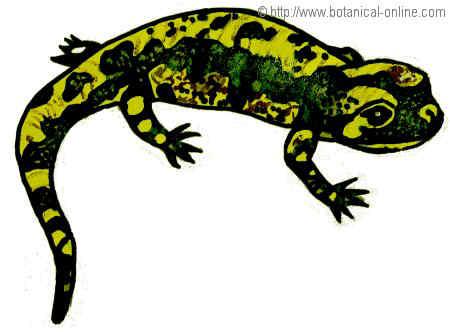 Dibujo de salamandra