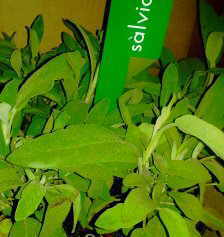 Infusions of sage leaves decrease sweat