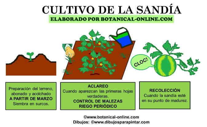 Cultivo de la sandía - tareas del huerto