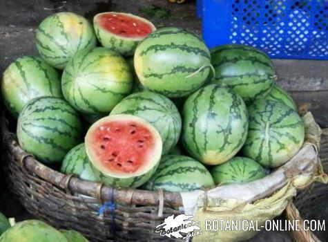 Watermelons in a market
