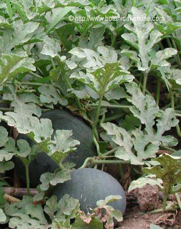 planta sandia melon de agua