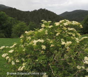 Plantas medicinales en el monte