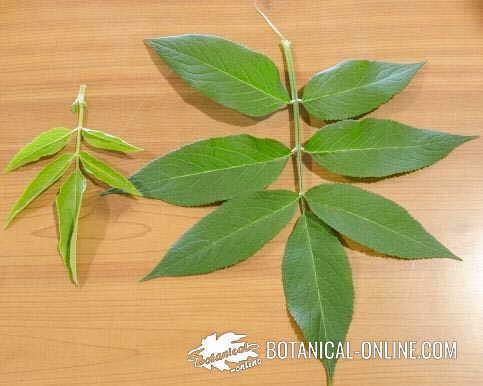 foto hojas yezgo sauco