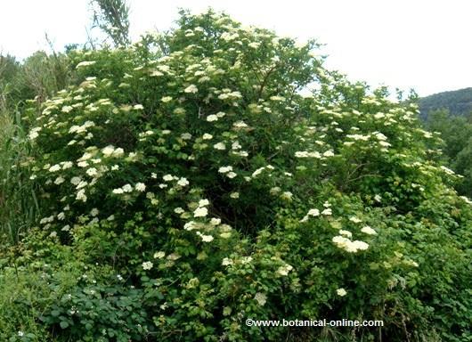 arbol de sauco aspecto flores
