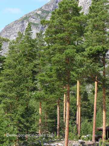 Forest of Scots pine in Norway