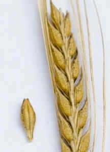 Espiga y grano de trigo