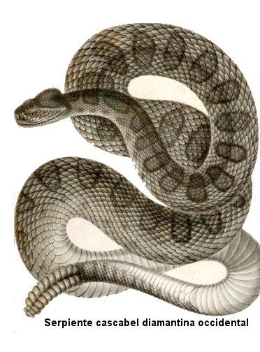 Anatomía de las serpientes de cascabel
