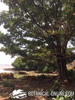 sicomoro Ficus sycomorus
