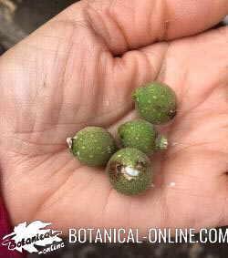 Frutos de sicomoro Ficus sycomorus sycamore