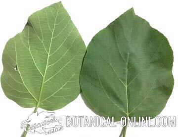 Hojas de sicomoro Ficus sycomorus sycamore