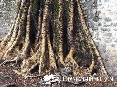 raices de sicomoro Ficus sycomorus sycamore