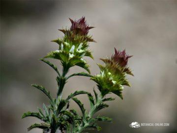Foto de Sideritis spinulosa