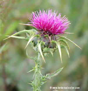 silybum_marianum flower head