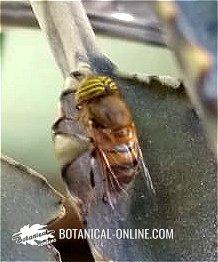 sirfido mosca tigre
