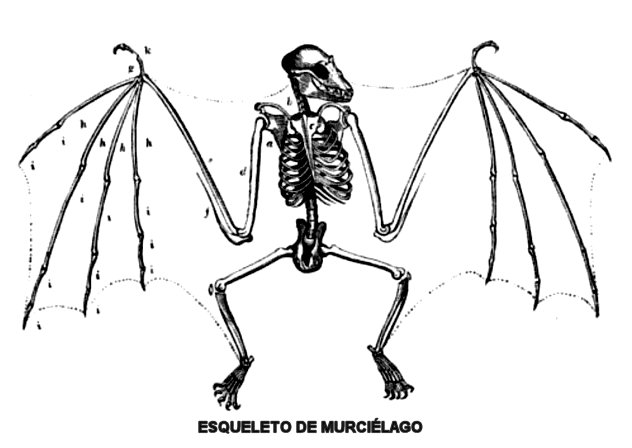 skeletto-wrcielagowos