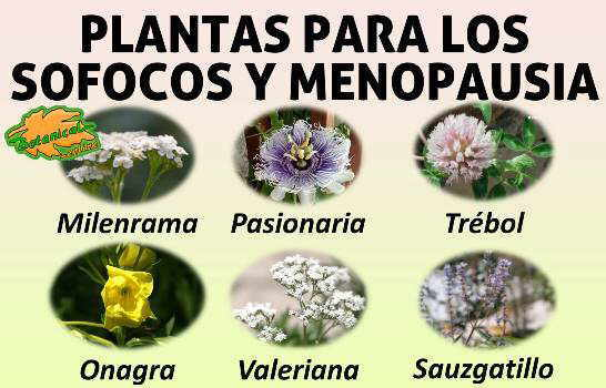 infusiones y principales plantas medicinales utilizadas en el tratamiento natural delos sofocos en la menopausia
