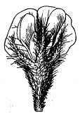 flor de soja