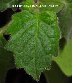 Solanum nigum L. hojas