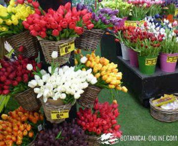 souvenirs tulipanes