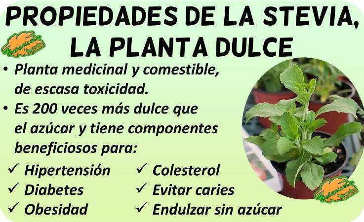planta estevia propiedades medicinales stevia rebaudiana