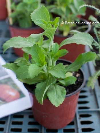 Photo of the stevia leaves