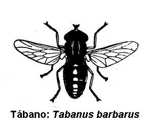 tábano