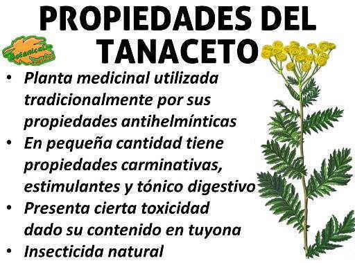 propiedades medicinales y curativas del tanaceto, planta medicinal
