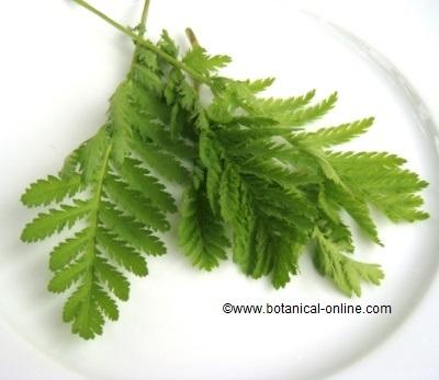 Tanaceto planta medicinal