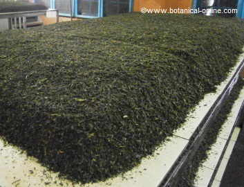 Fermentación del té verde ( Camellia sinensis)