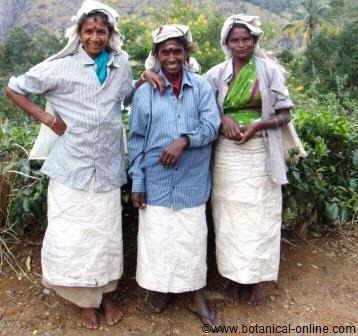 Cosecha del té ( Camellia sinensis)