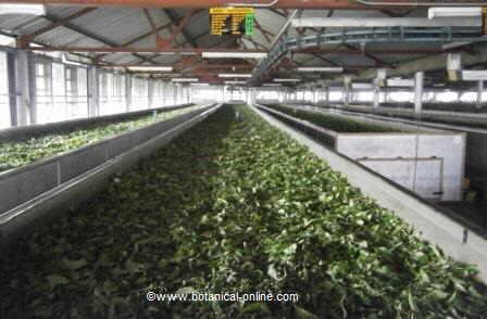 Marchitado del té ( Camellia sinensis)